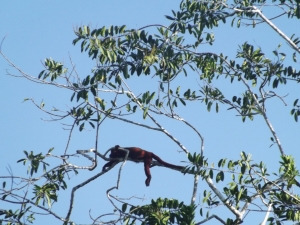 A Howler Monkey, incredibly they howl really fkng loud