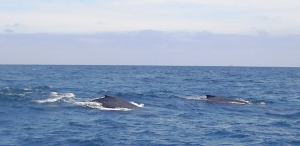 Careful not so spend all your time trying to take photos of the whales and take time to actually watch them