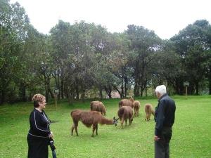 Llamas en Pasachoa park
