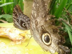 This butterfly imitates an owl for defense