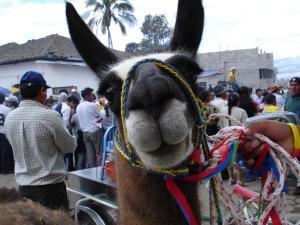 Llamas get a look in in the fiestas